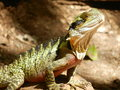 Water dragon native australian sunbathing on rocks Royalty Free Stock Photos