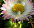 Water drop on daisy macro closeup detail of blooming garden in summer time Stock Images