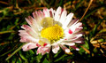 Water drop on daisy macro closeup detail of blooming garden in summer time Royalty Free Stock Photo