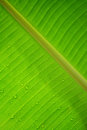 Water drop on green banana leaf texture background close up Royalty Free Stock Photo