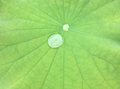 Water drop on a green lotus leaf.