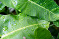 Water drop on a leaf after rain Royalty Free Stock Photo