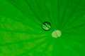 Water drop on lotus leaf Royalty Free Stock Photo
