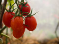 Water drop on red cherry tomato Royalty Free Stock Photo