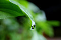 Water Droplet Dripping from Green Leaf Tip, Macro Shot Royalty Free Stock Photo