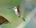 Hummingbirds Royalty Free Stock Photo