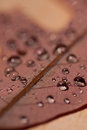 Water Droplets on Oak Leaf Royalty Free Stock Photo