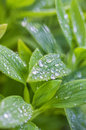 Water droplets on plant leaves Royalty Free Stock Image
