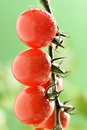 Water Droplets on Tomato Plant Royalty Free Stock Photo