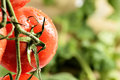Water droplets on tomato plant macro in greenhouse soilless agricultural concept Stock Photos
