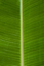 Water Drops On Banana Leaf.