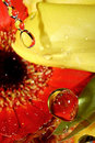 Water drops on colorful petals Royalty Free Stock Image
