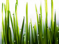 Water drops on fresh grass close up Stock Images