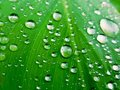 Water drops on green leaf, Beautiful nuture background. Royalty Free Stock Photo