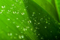 Water drops on a green leaf closeup Royalty Free Stock Photography