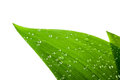 Water drops on a green leaf isolated Stock Images