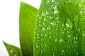 Water drops on a green leaf isolated Royalty Free Stock Image
