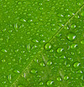 Water drops on green leaf macro Royalty Free Stock Photo