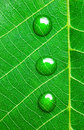 Water Drops on a Green Leaf  / Super Macro Royalty Free Stock Photo