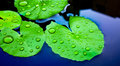 Water drops on Lotus Leaf Royalty Free Stock Photo