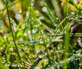 Water drops, morning dew and grass Royalty Free Stock Photo
