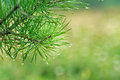 Water drops on pine needles Royalty Free Stock Photo