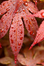 Water drops on red mapple leaf Royalty Free Stock Photo