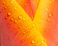 Water drops on tulip petal Royalty Free Stock Photos