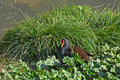 Water gallinule resting Stock Photo