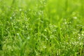 With water grass a close up of green dew full of vigour Royalty Free Stock Photo
