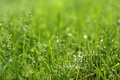 With water grass a close up of green dew full of vigour Royalty Free Stock Image