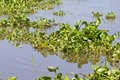 Water hyacinth Stock Photography