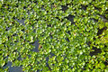 Water hyacinth the background of scientific name eichhornia crassipes Royalty Free Stock Photos