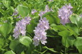 Water hyacinth eichhornia crassipes in bloom Royalty Free Stock Photography