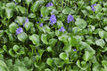 Water hyacinth eichhornia crassipes is blooming with blue flower Royalty Free Stock Images