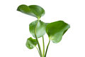 Water Hyacinth (Eichhornia crassipes) Royalty Free Stock Photo