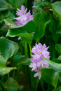 Water hyacinth with purple flowers Stock Photos