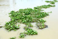 Water hyacinth in river group of plant floating Stock Image