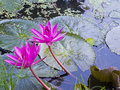 Water lilies Royalty Free Stock Photo