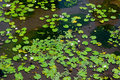 Water lilies flowers in a pond Royalty Free Stock Photo