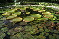 Water lilies growing in a greenhouse, Kew, London, England Royalty Free Stock Photo