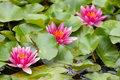 Water lilies growing in quiet waters Royalty Free Stock Images
