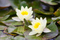 Water lilies growing in the quiet waters of the reservoir Royalty Free Stock Photo