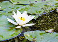 Water lilies on the lake Royalty Free Stock Photo