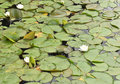Water lilies and lily pads floating Stock Photos