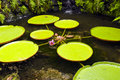 Water lilies nymphaeaceae flowers buds and leaves of lily Royalty Free Stock Photo