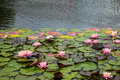 The water lilies in a old pond Royalty Free Stock Photo