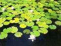Water lilies pink in the lake Stock Image