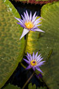 Water lilies in a pond Royalty Free Stock Photo