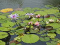 Water lilies on pond with glistening droplets Royalty Free Stock Photos